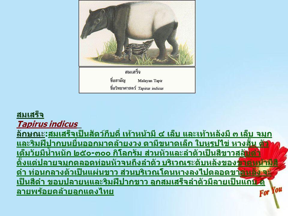 สมเสร็จ Tapirus indicus