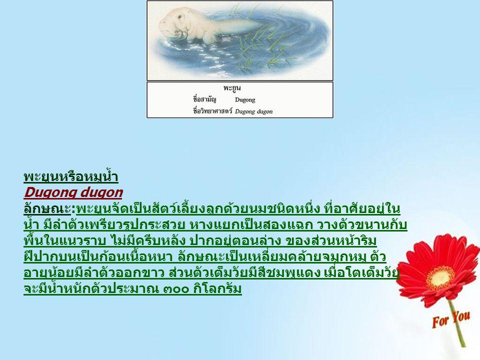 พะยูนหรือหมูน้ำ Dugong dugon
