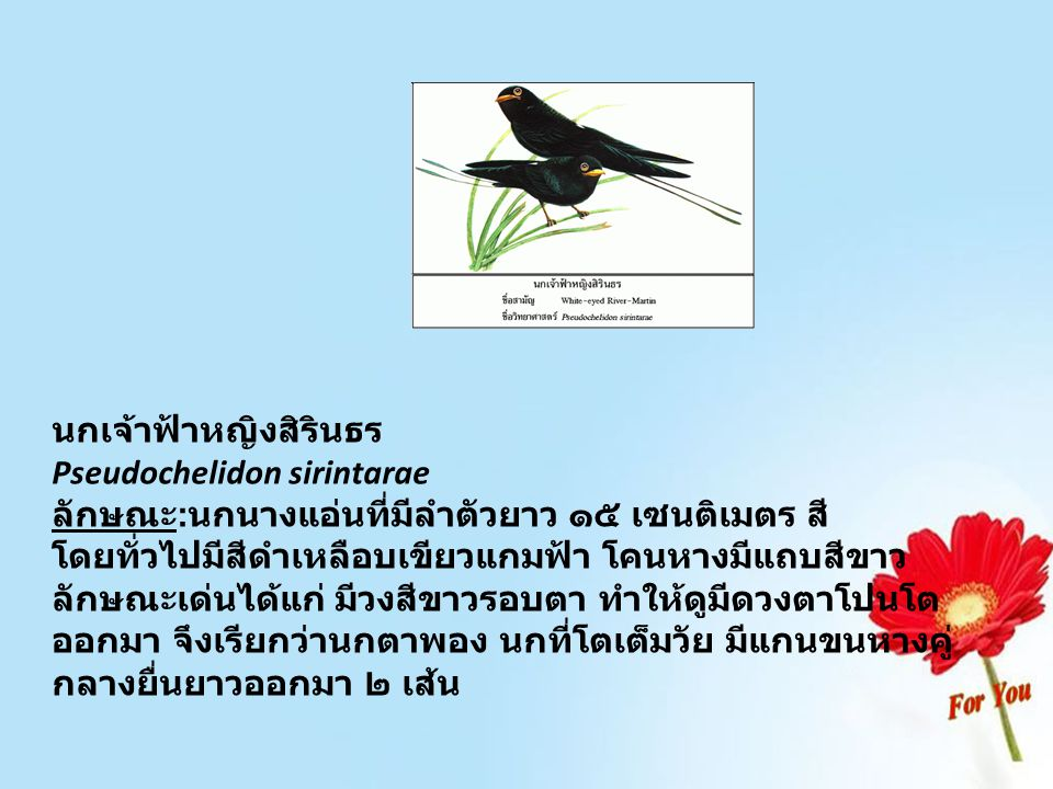 นกเจ้าฟ้าหญิงสิรินธร Pseudochelidon sirintarae