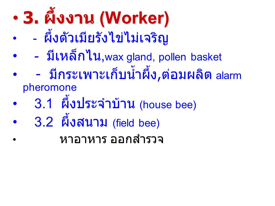 3. ผึ้งงาน (Worker) - มีเหล็กไน,wax gland, pollen basket