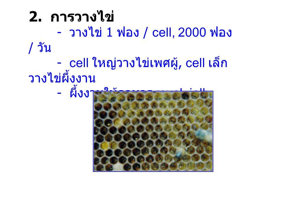 2. การวางไข่ - cell ใหญ่วางไข่เพศผู้, cell เล็กวางไข่ผึ้งงาน