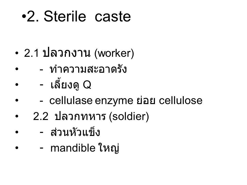 2. Sterile caste 2.1 ปลวกงาน (worker) - ทำความสะอาดรัง - เลี้ยงดู Q