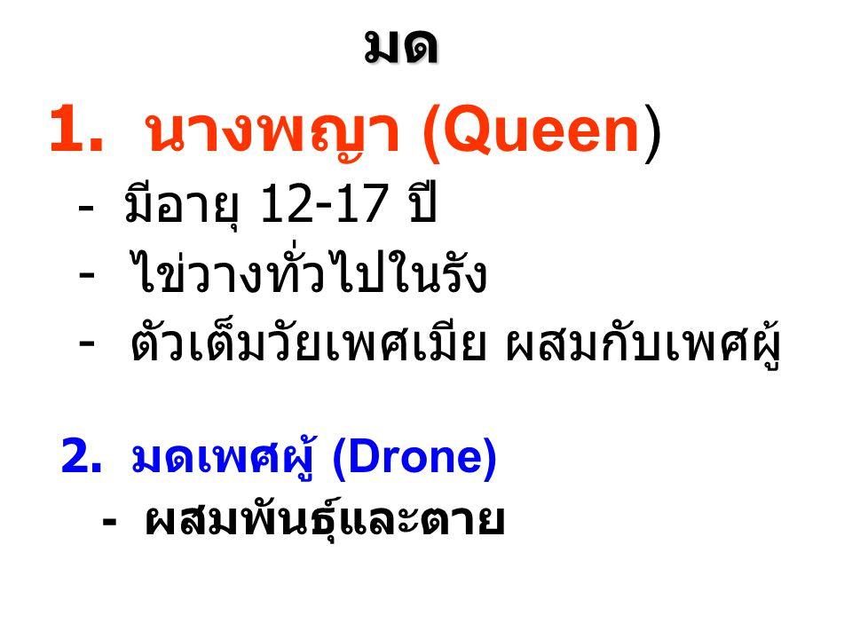 1. นางพญา (Queen) มด - ไข่วางทั่วไปในรัง