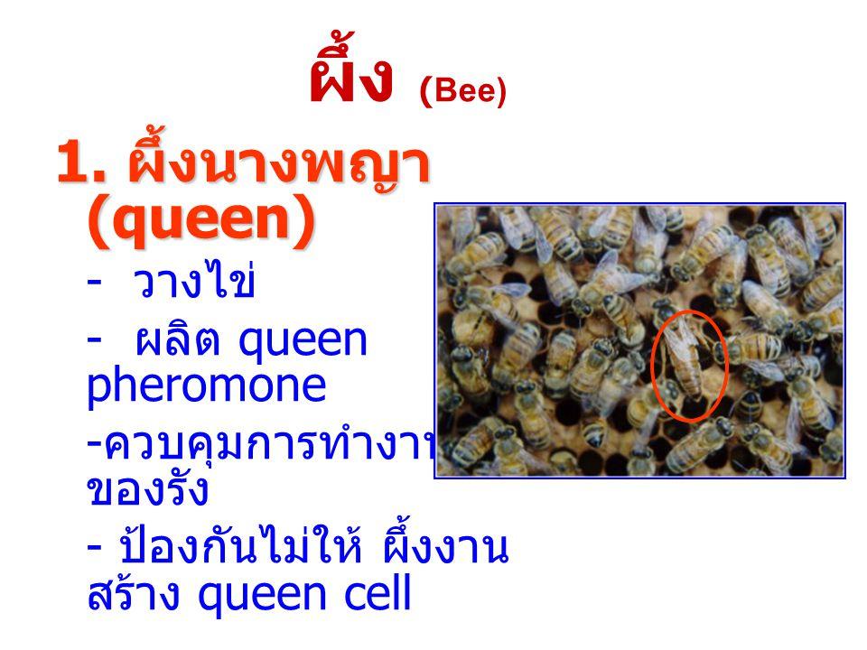 ผึ้ง (Bee) 1. ผึ้งนางพญา (queen) - ผลิต queen pheromone