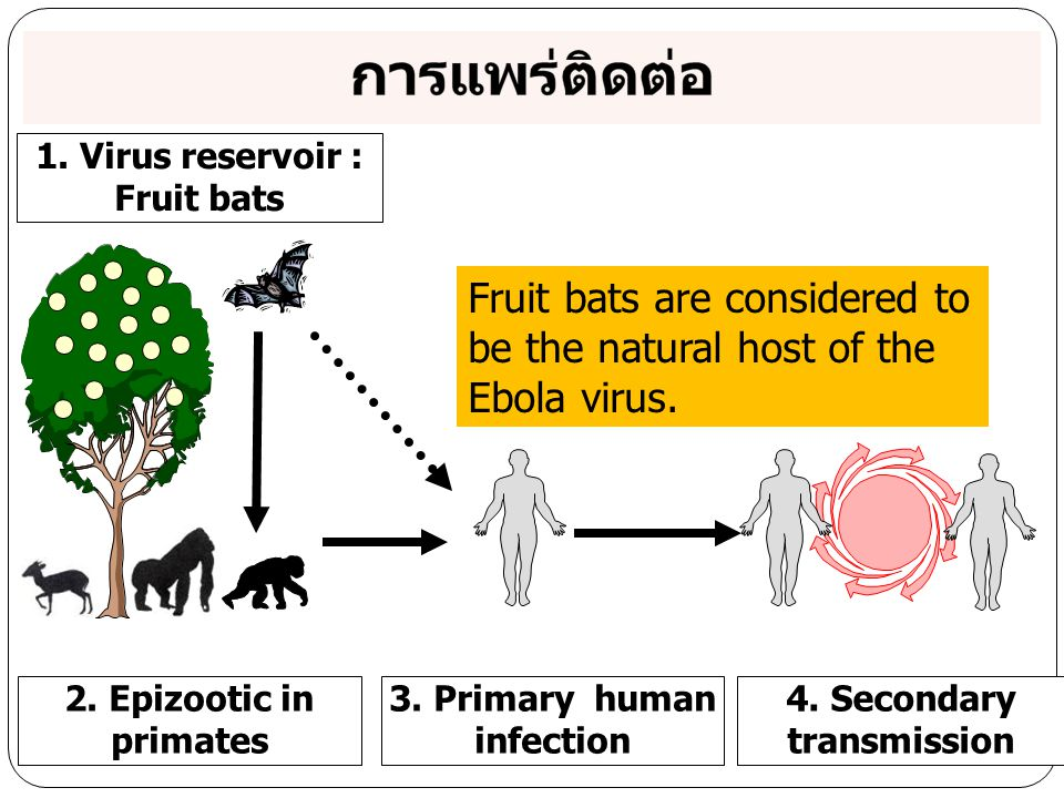 3. Primary human infection 4. Secondary transmission
