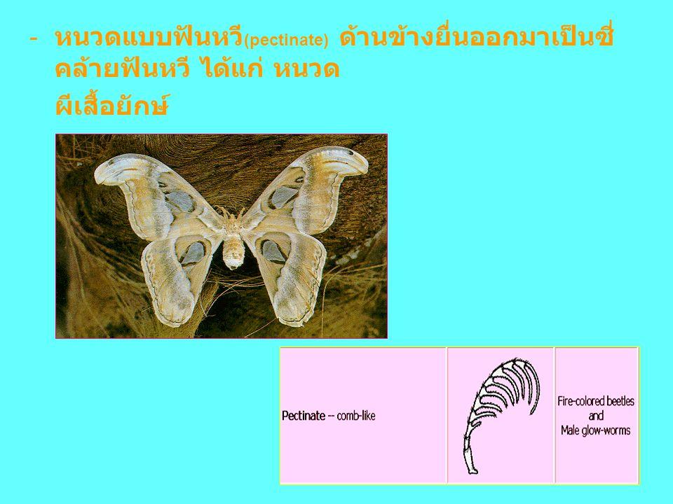 หนวดแบบฟันหวี(pectinate) ด้านข้างยื่นออกมาเป็นซี่คล้ายฟันหวี ได้แก่ หนวด