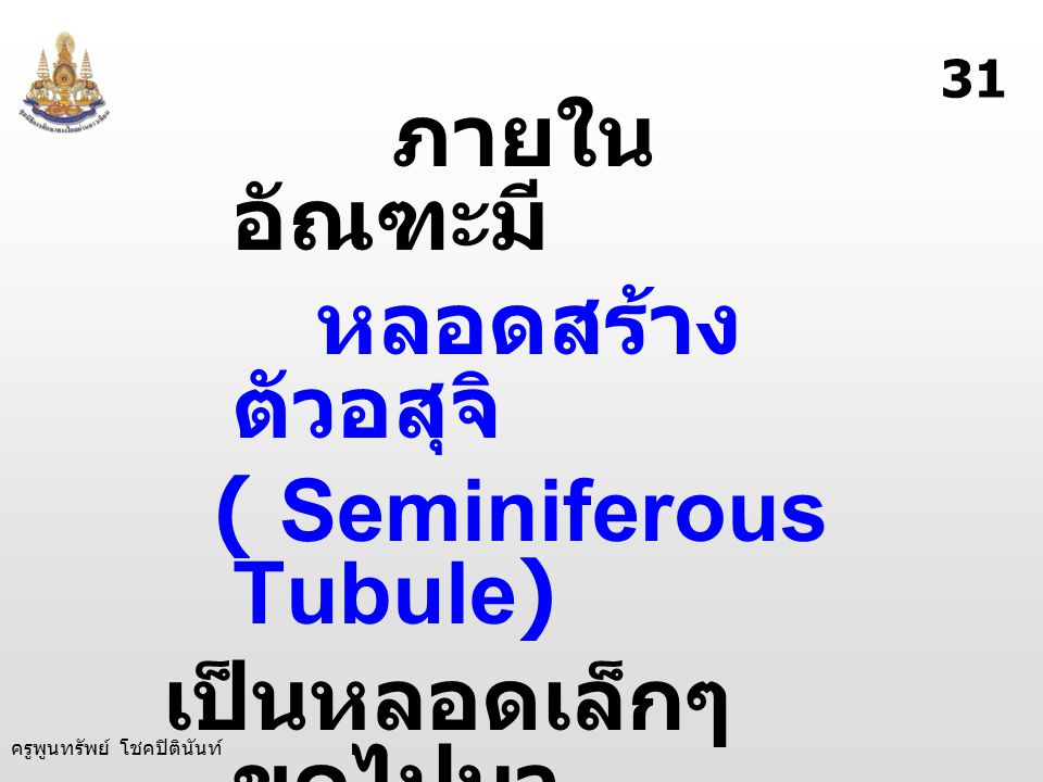 ( Seminiferous Tubule) เป็นหลอดเล็กๆ ขดไปมา ทำหน้าที่ สร้างตัวอสุจิ