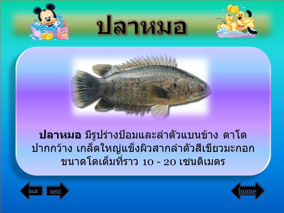 ปลาหมอ ปลาหมอ มีรูปร่างป้อมและลำตัวแบนข้าง ตาโตปากกว้าง เกล็ดใหญ่แข็งผิวสากลำตัวสีเขียวมะกอก ขนาดโตเต็มที่ราว 10 - 20 เซนติเมตร.