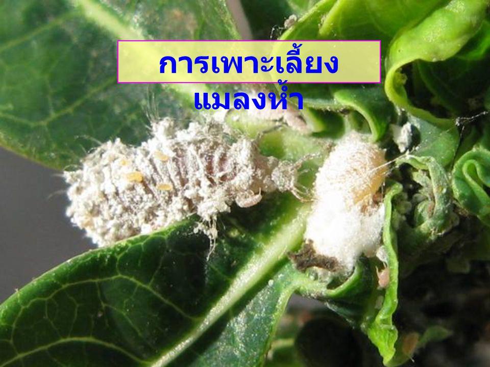 การเพาะเลี้ยงแมลงห้ำ