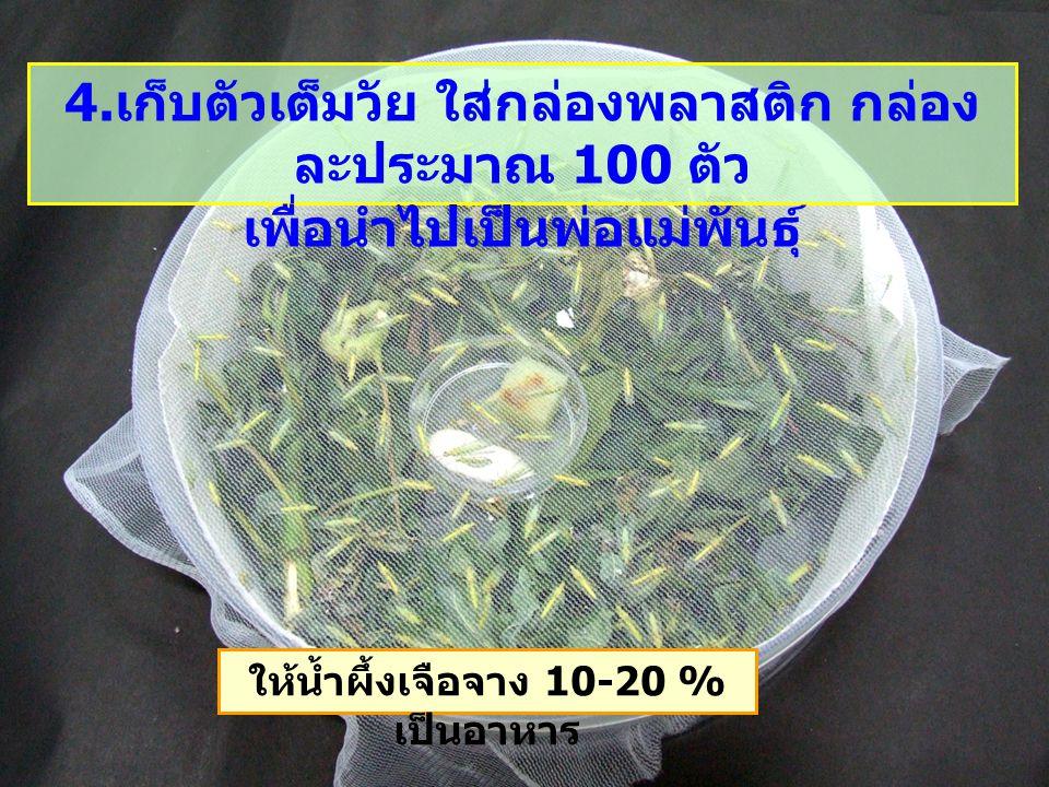 ให้น้ำผึ้งเจือจาง 10-20 % เป็นอาหาร