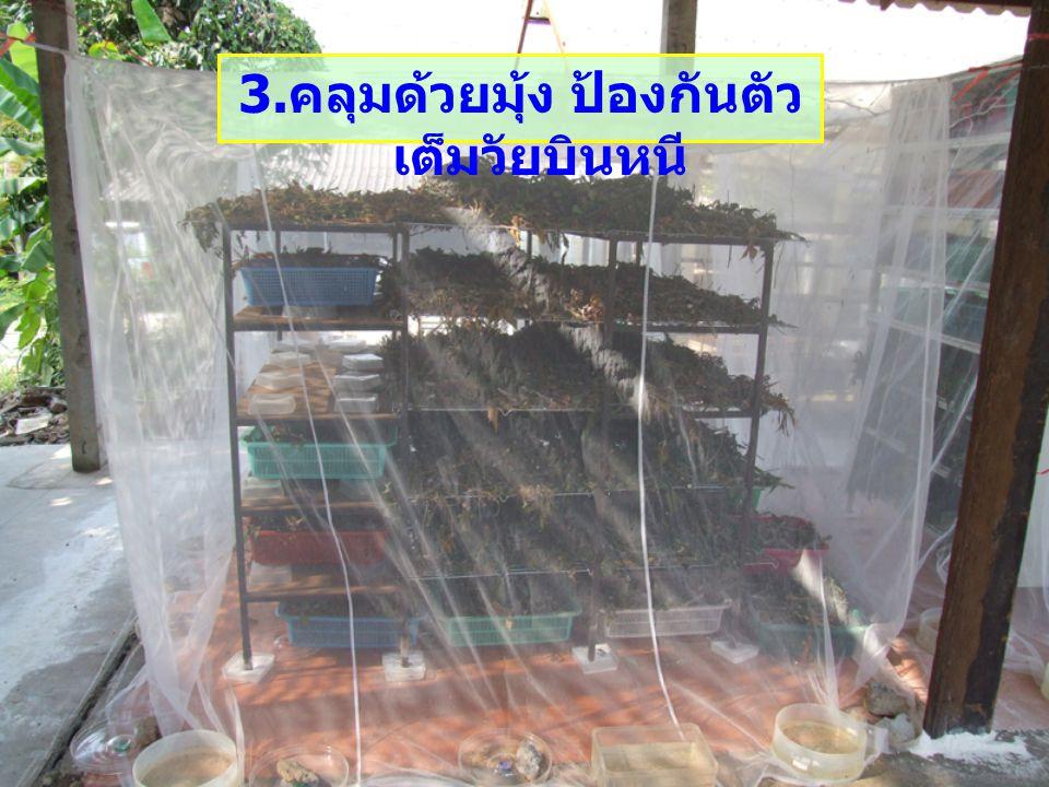 3.คลุมด้วยมุ้ง ป้องกันตัวเต็มวัยบินหนี