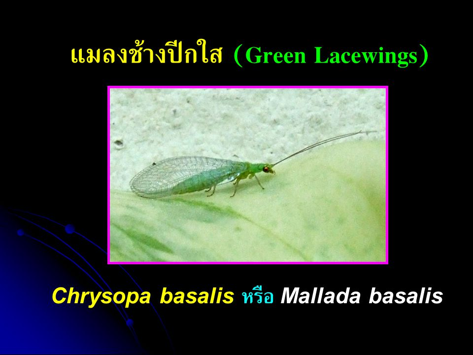 แมลงช้างปีกใส (Green Lacewings)