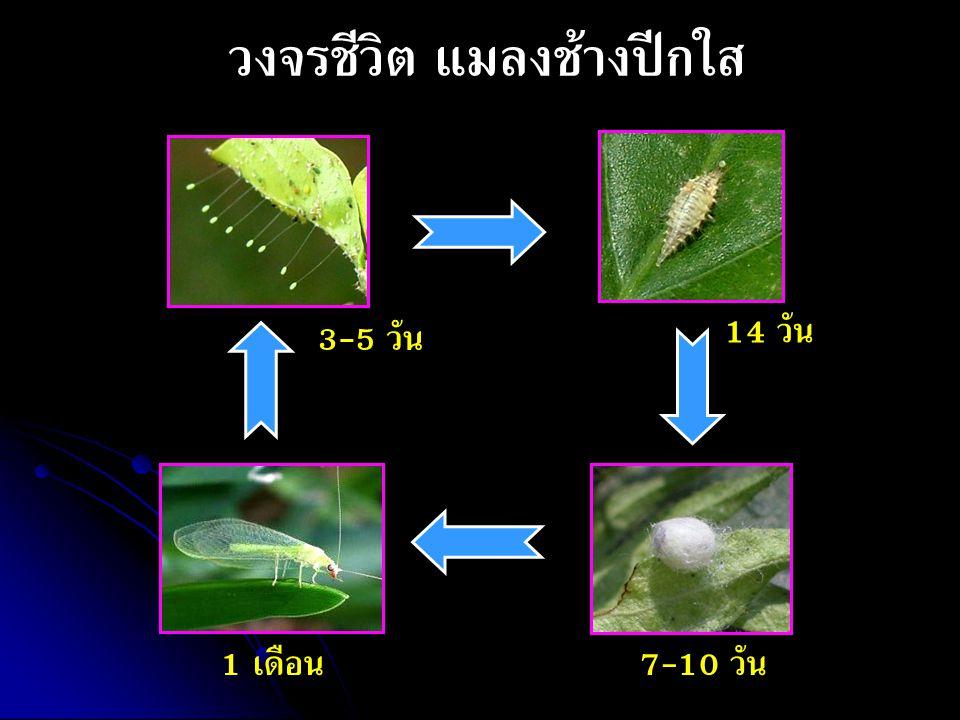 วงจรชีวิต แมลงช้างปีกใส