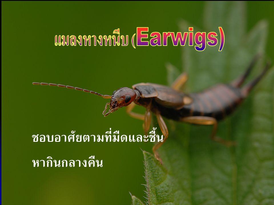 แมลงหางหนีบ (Earwigs)