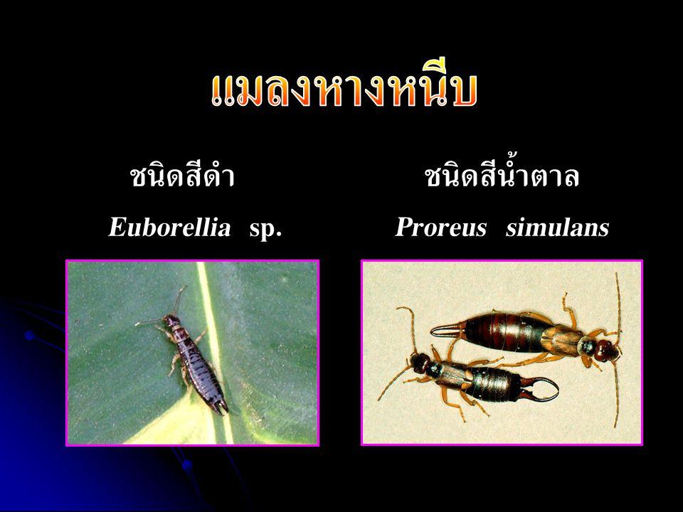 ชนิดสีน้ำตาลProreus simulans