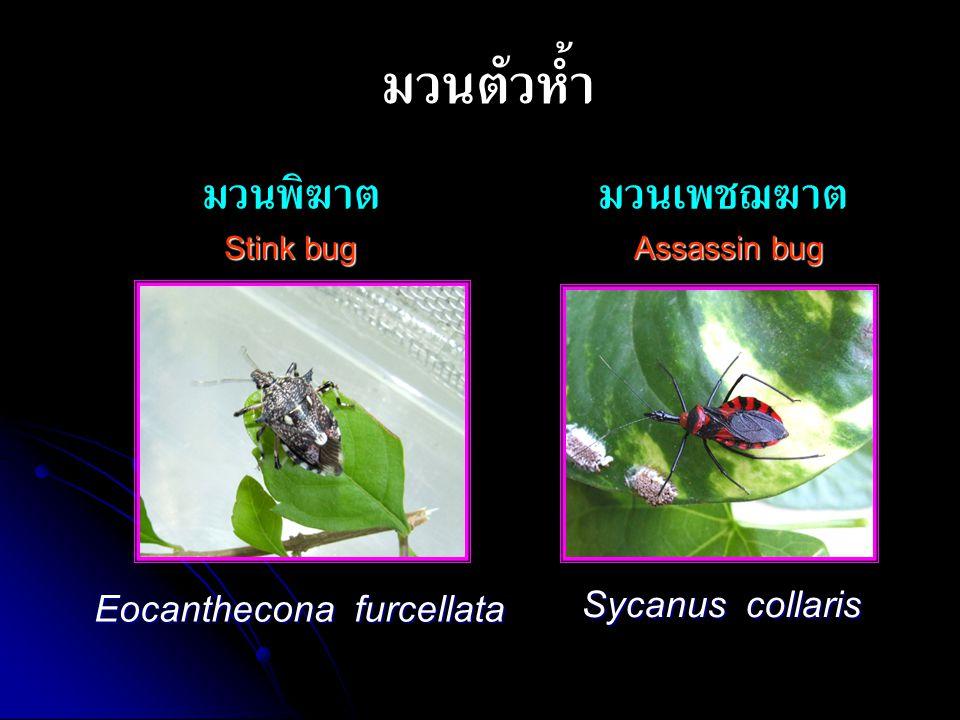 มวนตัวห้ำ มวนพิฆาต Stink bug มวนเพชฌฆาตAssassin bug Sycanus collaris