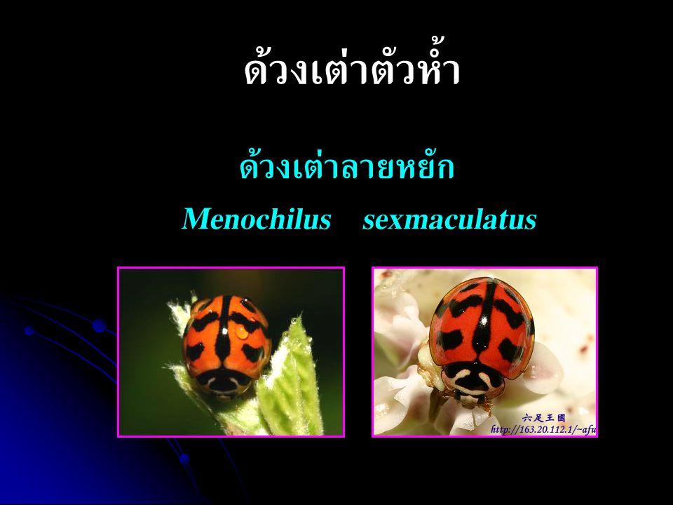 ด้วงเต่าลายหยัก Menochilus sexmaculatus