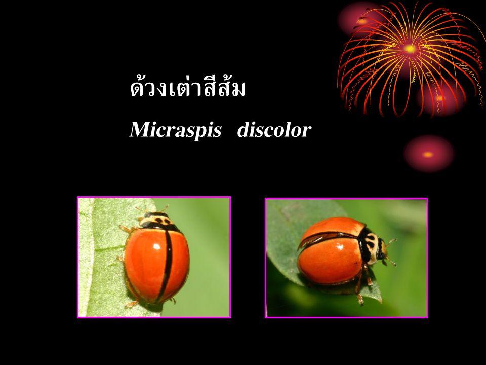 ด้วงเต่าสีส้ม Micraspis discolor