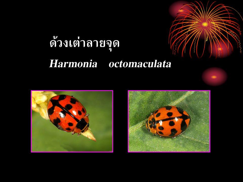 ด้วงเต่าลายจุด Harmonia octomaculata
