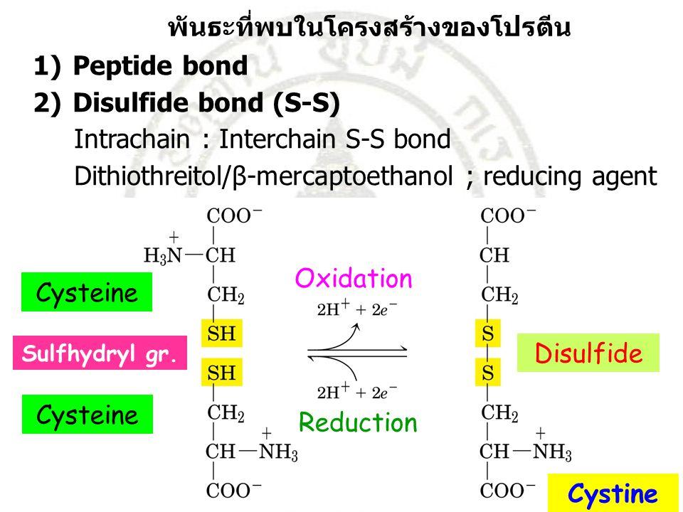 พันธะที่พบในโครงสร้างของโปรตีน Peptide bond 2) Disulfide bond (S-S)