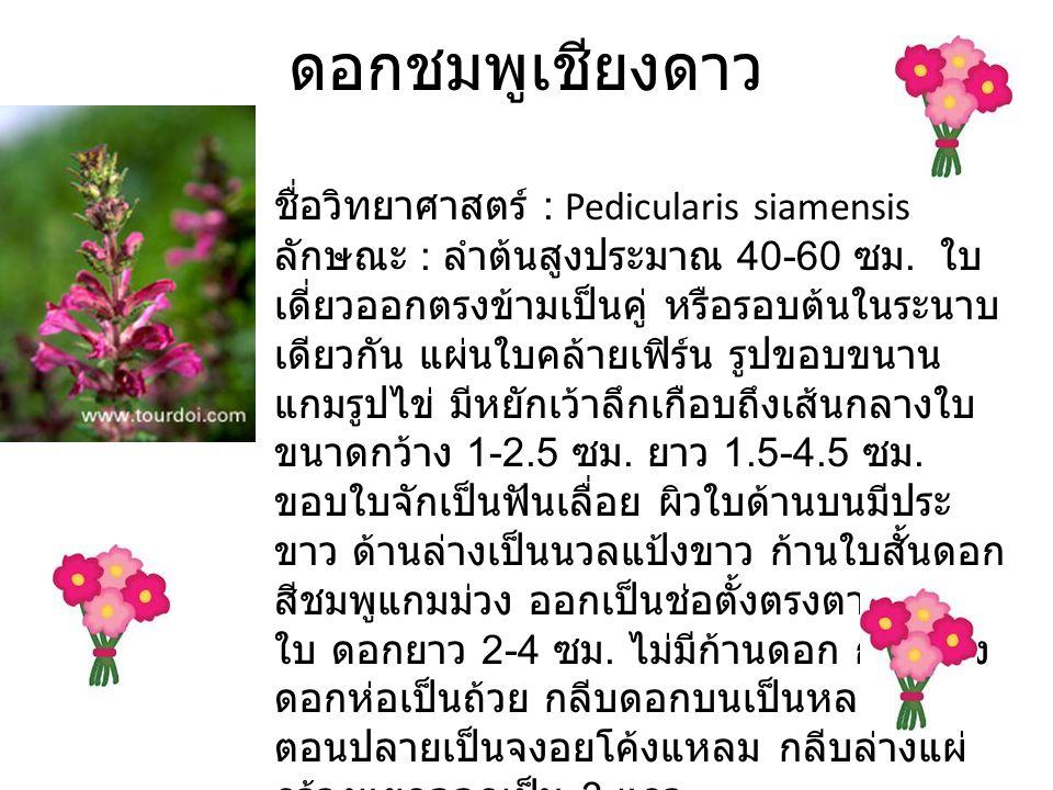 ดอกชมพูเชียงดาว ชื่อวิทยาศาสตร์ : Pedicularis siamensis