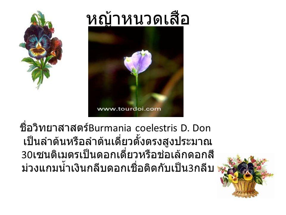 หญ้าหนวดเสือ ชื่อวิทยาสาสตร์Burmania coelestris D. Don