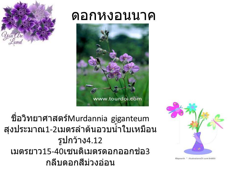 ดอกหงอนนาค ชื่อวิทยาศาสตร์Murdannia giganteum