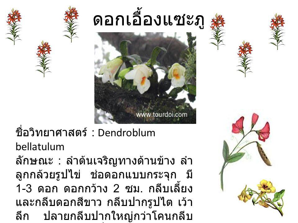 ดอกเอื้องแซะภู ชื่อวิทยาศาสตร์ : Dendroblum bellatulum