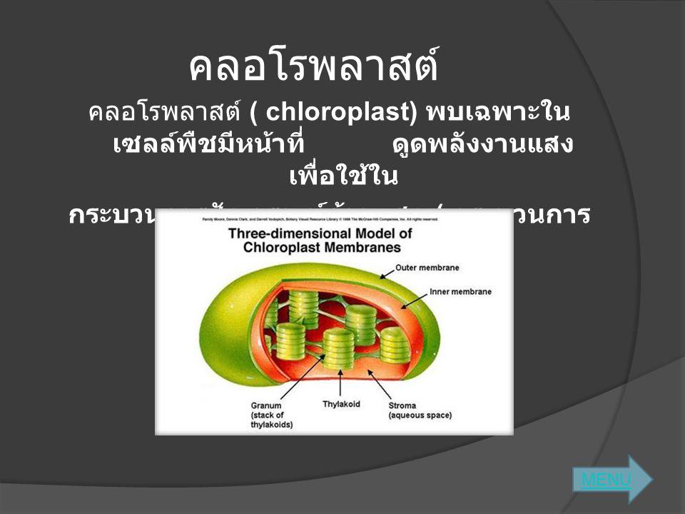 คลอโรพลาสต์ คลอโรพลาสต์ ( chloroplast) พบเฉพาะในเซลล์พืชมีหน้าที่ ดูดพลังงานแสง เพื่อใช้ใน กระบวนการสังเคราะห์ด้วยแสง ( กระบวนการสร้างอาหารของพืช )