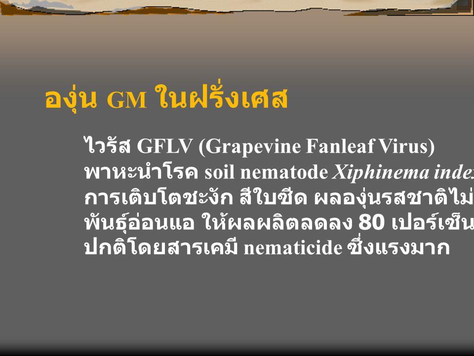 องุ่น GM ในฝรั่งเศส ไวรัส GFLV (Grapevine Fanleaf Virus)