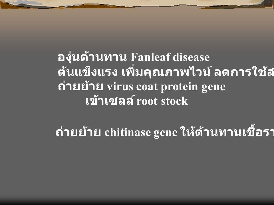 องุ่นต้านทาน Fanleaf disease