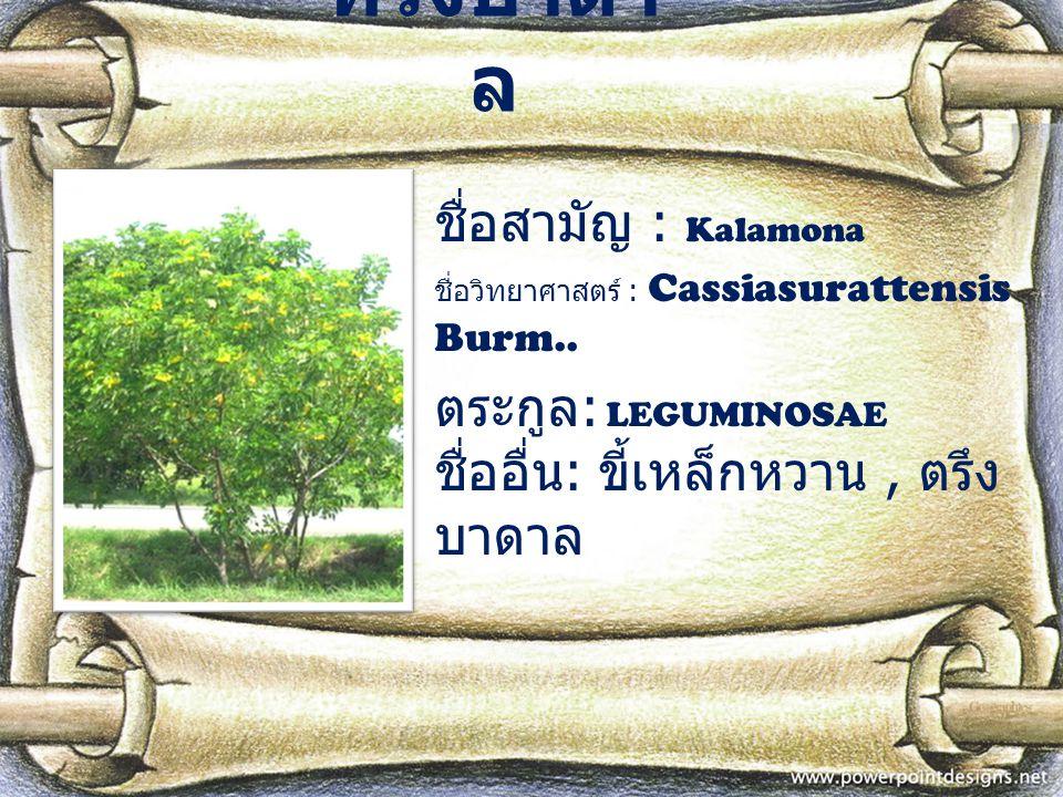 ทรงบาดาล ชื่อสามัญ : Kalamona