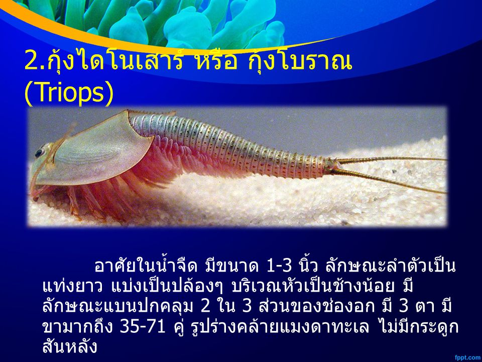 2.กุ้งไดโนเสาร์ หรือ กุ้งโบราณ (Triops)