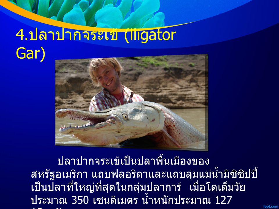 4.ปลาปากจระเข้ (lligator Gar)