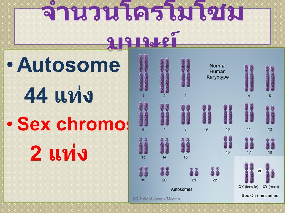 จำนวนโครโมโซมมนุษย์ Autosome 44 แท่ง Sex chromosome 2 แท่ง