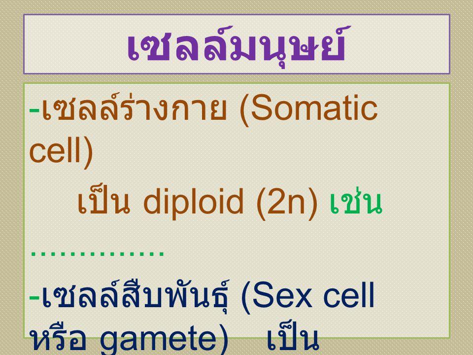 เซลล์มนุษย์ -เซลล์ร่างกาย (Somatic cell) เป็น diploid (2n) เช่น ..............
