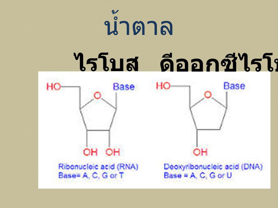 น้ำตาล ไรโบส ดีออกซีไรโบส