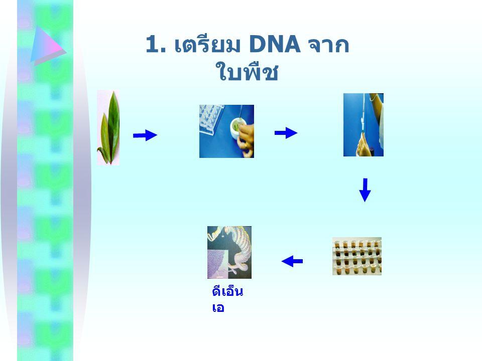 1. เตรียม DNA จากใบพืช ดีเอ็นเอ