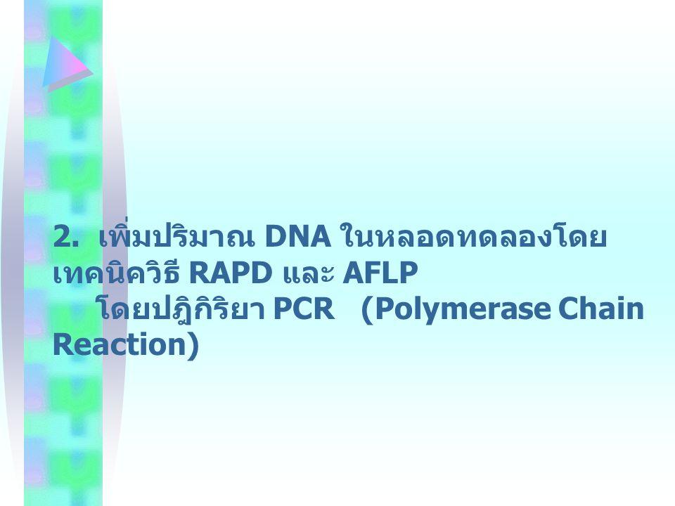 2. เพิ่มปริมาณ DNA ในหลอดทดลองโดยเทคนิควิธี RAPD และ AFLP