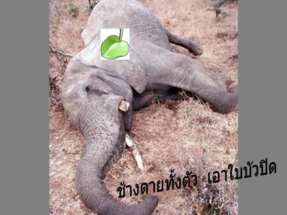 ช้างตายทั้งตัว เอาใบบัวปิด
