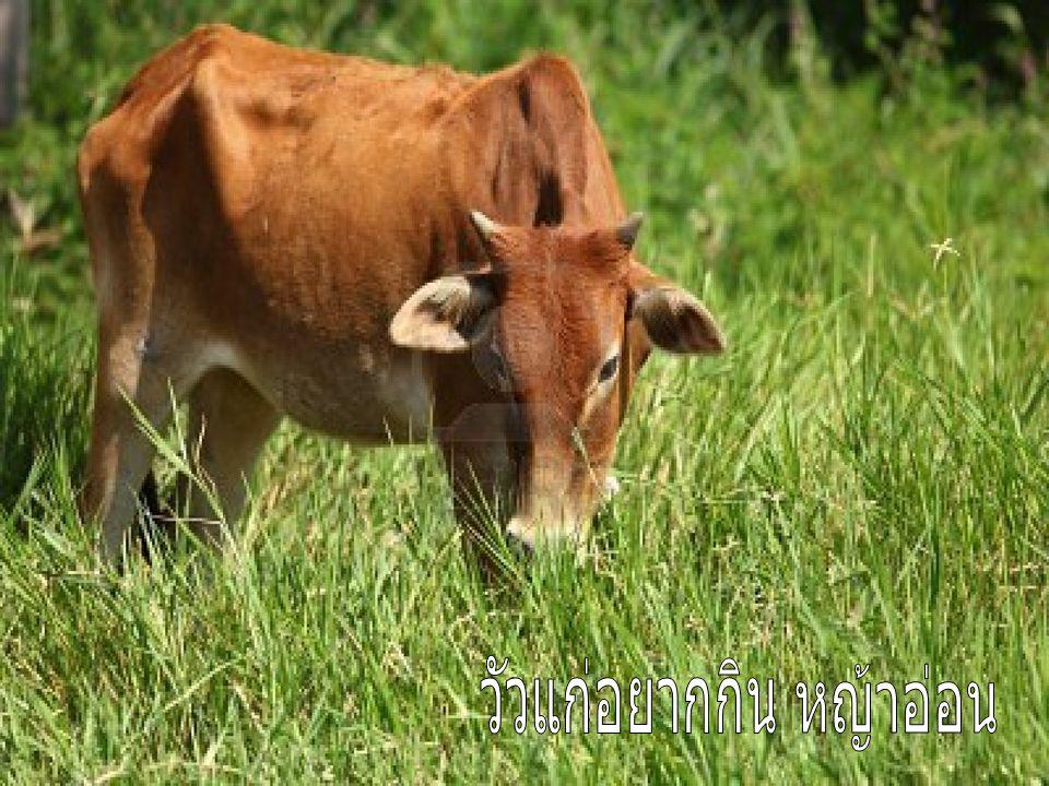 วัวแก่อยากกิน หญ้าอ่อน