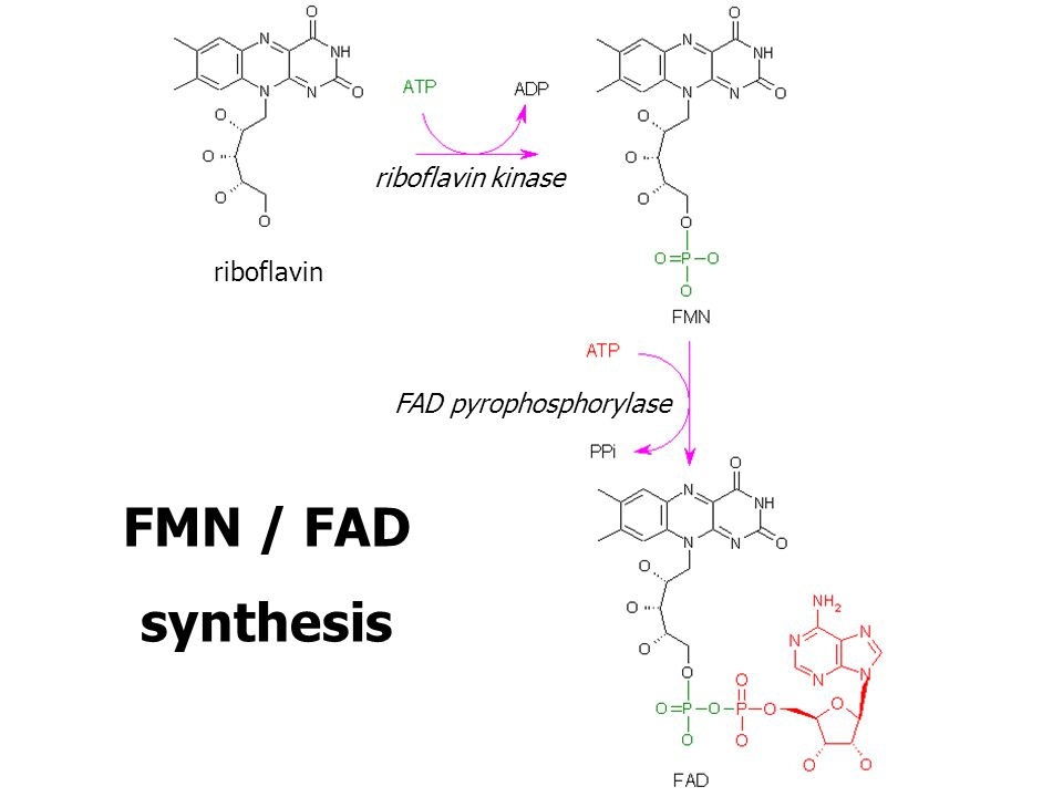riboflavin kinase riboflavin FAD pyrophosphorylase FMN / FAD synthesis