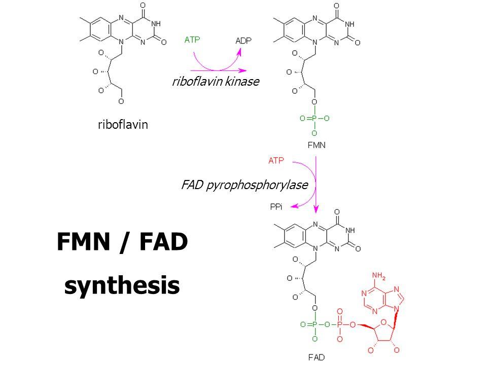 riboflavin kinase riboflavin FAD pyrophosphorylase FMN / FAD synthesis