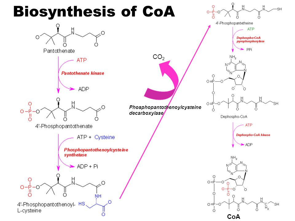 Biosynthesis of CoA CO2 Phosphopantothenoylcysteine decarboxylase CoA