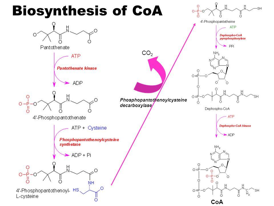 Biosynthesis of CoA CO2 Phosphopantothenoylcysteine decarboxylase CoA
