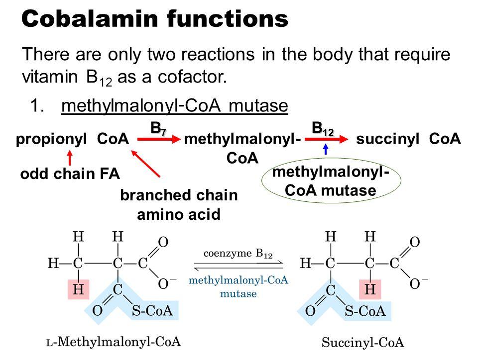 methylmalonyl-CoA mutase branched chain amino acid