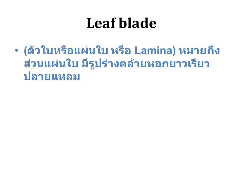 Leaf blade (ตัวใบหรือแผ่นใบ หรือ Lamina) หมายถึง ส่วนแผ่นใบ มีรูปร่างคล้ายหอกยาวเรียว ปลายแหลม