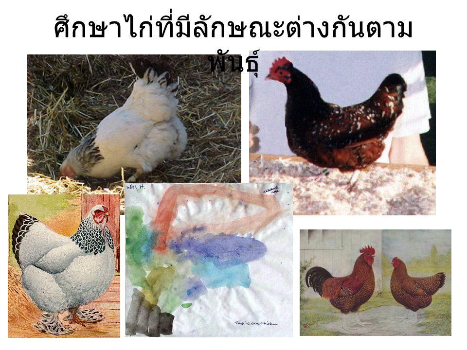 ศึกษาไก่ที่มีลักษณะต่างกันตามพันธุ์