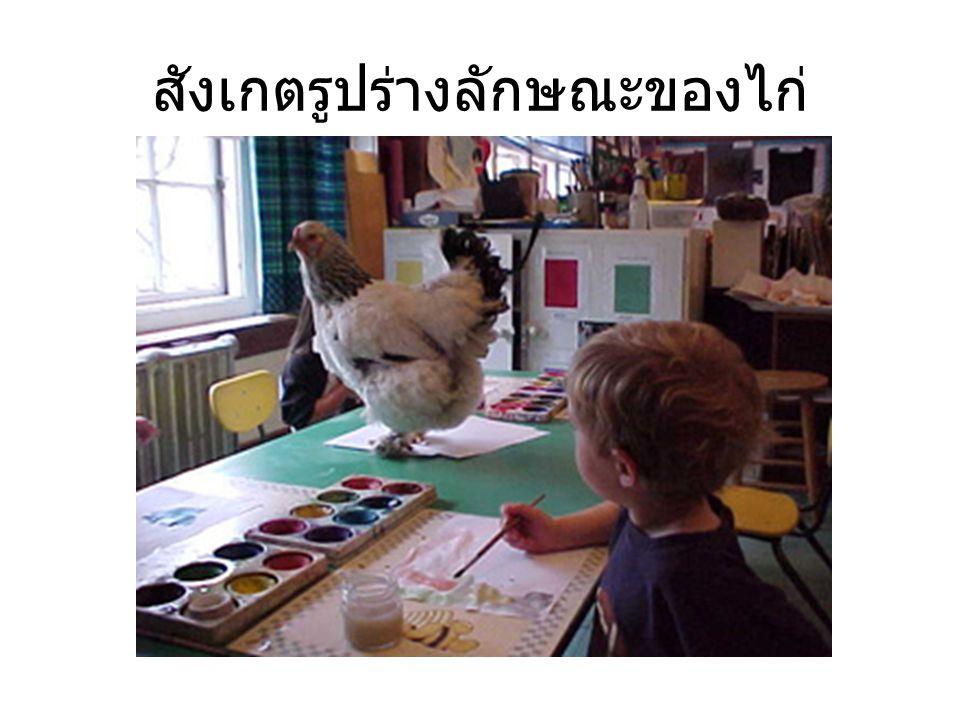สังเกตรูปร่างลักษณะของไก่
