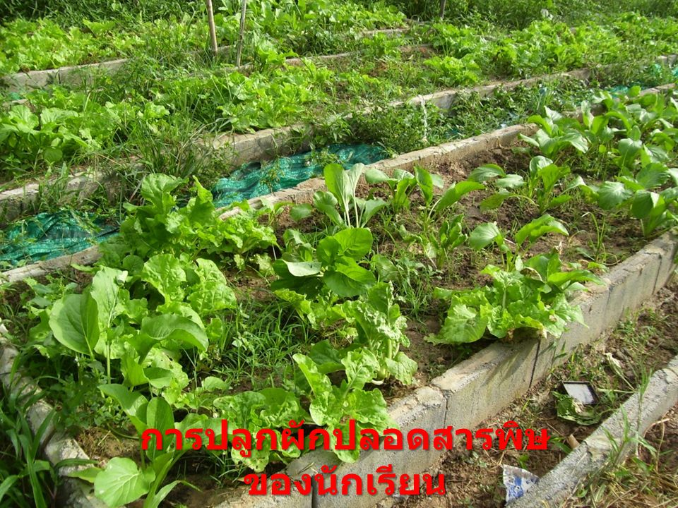 การปลูกผักปลอดสารพิษของนักเรียน
